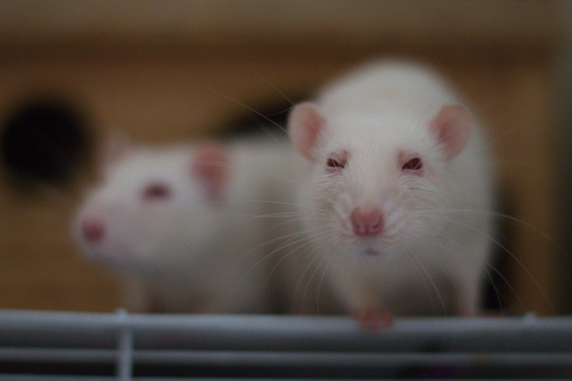 proefdier lab rat