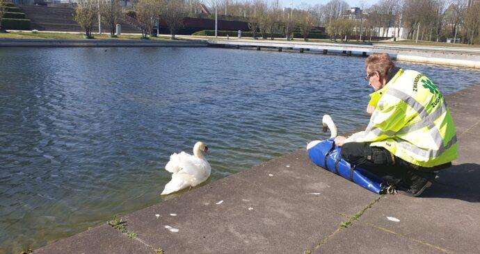 Zwaan bij water kant met partnerzwaan
