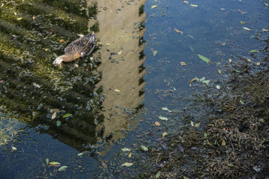 Een dode eend in de vijver op de campus.