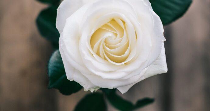 in memoriam flower (EM)